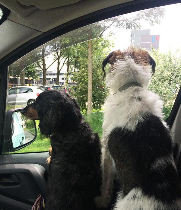 Topdogs Unlimited hondenuitlaatservice Utrecht in de auto
